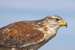 Nahaufnahme eines Falken stockfotos