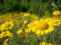 Nahaufnahme eines Feldes der gelben dasies und des grünen Grases stockfoto