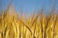 Nahaufnahme eines Feldes gefüllt mit Weizen Lizenzfreie Stockfotografie