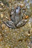 Nahaufnahme eines Frosches und des frogspawn Lizenzfreie Stockfotos