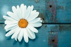 Nahaufnahme eines Gänseblümchens auf einer abgenutzten Holzoberfläche Stockfotografie