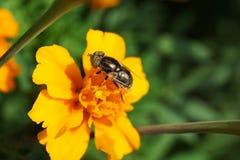 Nahaufnahme eines glänzenden mit Blumenkaukasiers fliegt hoverfly Eristalinus Stockbild
