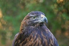 Nahaufnahme eines goldener Adler-Raubvogels Stockfoto