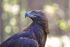 Nahaufnahme eines goldener Adler-Raubvogels Stockbilder