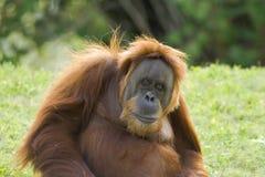 Nahaufnahme eines Gorillas Lizenzfreie Stockbilder