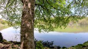 Nahaufnahme eines grünen Baums auf dem Ufer von einem See stock video footage