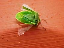 Nahaufnahme eines Grüns, junges Gestankwanze Palomena-prasina stockfotografie