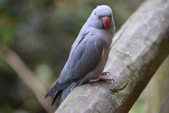 Nahaufnahme eines grauen Inder Ringneck-Sittichs in einem Park in Südafrika Stockbilder
