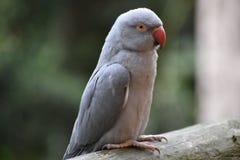 Nahaufnahme eines grauen Inder Ringneck-Sittichs in einem Park in Südafrika Lizenzfreies Stockfoto