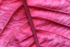 Nahaufnahme eines hellen Scharlachrots Blattes für einen Hintergrund. Stockbilder