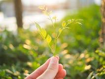 Nahaufnahme eines human& x27; s-Hand, die Baby Blätter während des Sonnenuntergangs hält Lizenzfreie Stockfotos