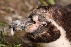 Nahaufnahme eines Humboldt Pinguins Lizenzfreie Stockfotos
