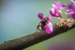 Nahaufnahme eines Hummel Bombus pascuorum, das Blütenstaub von rosa Judas-Baum Cercis siliquastrum Blüte an einem Frühlingstag er Stockbilder