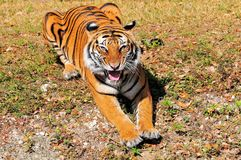 Nahaufnahme eines hungrigen Tigers Stockbilder