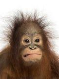 Nahaufnahme eines jungen Bornean-Orang-Utans, der ein Gesicht macht Lizenzfreies Stockfoto