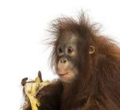 Nahaufnahme eines jungen Bornean-Orang-Utans, der eine Banane isst Stockfotografie