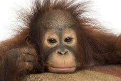 Nahaufnahme eines jungen Bornean-Orang-Utans, der müde schaut Stockfotos