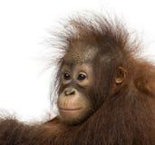 Nahaufnahme eines jungen Bornean-Orang-Utans, weg schauend Lizenzfreie Stockfotos