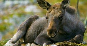 Nahaufnahme eines jungen Elchkalbs auf dem Waldboden stock footage