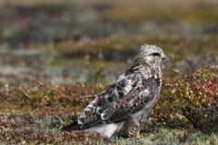 Nahaufnahme eines jungen Raufußbussard Buteo Lagopus fand auf der Tundra Stockfotografie