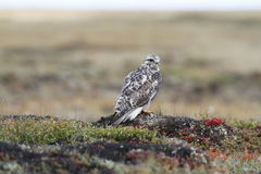 Nahaufnahme eines jungen Raufußbussard Buteo Lagopus fand auf der Tundra Stockfotos