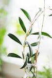 Nahaufnahme eines jungen Schösslings, Olive in einem Topf nahe dem Fenster heal lizenzfreies stockbild