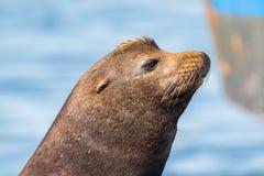 Nahaufnahme eines Kalifornischen Seelöwen Stockfotografie