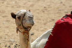 Nahaufnahme eines Kamelporträts in der Sahara-Wüste Die Giseh-Platte lizenzfreie stockfotos