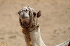 Nahaufnahme eines Kamelporträts in der Sahara-Wüste Die Giseh-Platte lizenzfreie stockfotografie