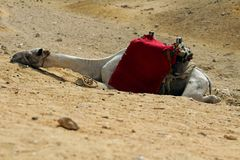 Nahaufnahme eines Kamels, das in einer Wüste schläft stockfotografie