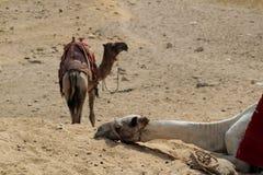 Nahaufnahme eines Kamels, das in einer Wüste schläft Die Stadtrände von Kairo stockfoto