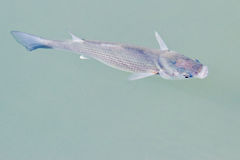 Fischnahaufnahme Lizenzfreie Stockfotografie