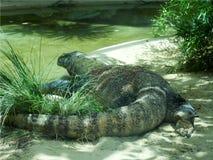 Nahaufnahme eines Komodowarans, das auf den Sand nahe einem Teich im Gras geht Lizenzfreie Stockbilder
