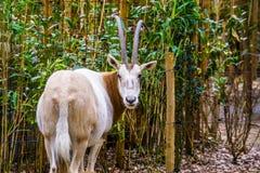 Nahaufnahme eines Krumms?bel Oryx von hinten, Sahara-Oryx, der in der Kamera, ausgestorben in den wilden, seltenen Tierarten scha lizenzfreie stockfotografie