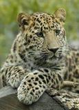 Nahaufnahme eines Leoparden lizenzfreies stockfoto