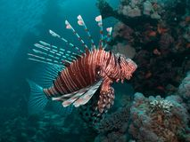 Nahaufnahme eines Lionfish lizenzfreie stockbilder