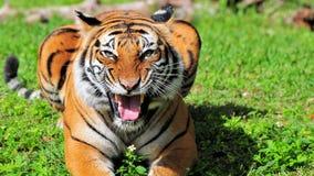 Nahaufnahme eines malaiischen Tigers stockfotografie