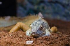 Nahaufnahme eines mehrfarbigen grünen Leguans lizenzfreie stockfotos