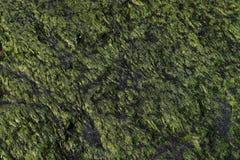 Nahaufnahme eines natürlichen grünen Musters und der Beschaffenheit des Seegrases auf einem Stein Lizenzfreies Stockbild