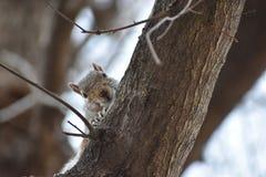 Nahaufnahme eines netten braunen Eichhörnchens auf einem Baum in einem Park in Washington an einem sonnigen Frühlingstag Stockfotos