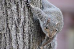 Nahaufnahme eines netten braunen Eichhörnchens, das oben einen Baum in einem Park in Washington an einem sonnigen Frühlingstag kl Stockfotografie