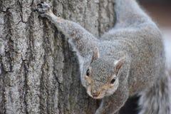 Nahaufnahme eines netten braunen Eichhörnchens, das oben einen Baum in einem Park in Washington an einem sonnigen Frühlingstag kl Lizenzfreie Stockfotos