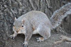 Nahaufnahme eines netten braunen Eichhörnchens, das oben einen Baum in einem Park in Washington an einem sonnigen Frühlingstag kl Lizenzfreie Stockbilder