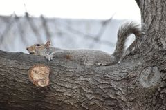 Nahaufnahme eines netten braunen Eichhörnchens, das oben einen Baum in einem Park in Washington an einem sonnigen Frühlingstag kl Stockfoto