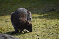 Nahaufnahme eines netten braunen Kängurus, der auf einer grünen Wiese sitzt Lizenzfreies Stockfoto