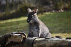 Nahaufnahme eines netten braunen Kängurus, der auf einer grünen Wiese sitzt Lizenzfreie Stockfotos