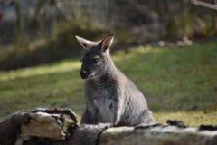 Nahaufnahme eines netten braunen Kängurus, der auf einer grünen Wiese sitzt Lizenzfreie Stockfotografie