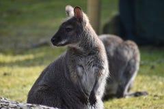 Nahaufnahme eines netten braunen Kängurus, der auf einer grünen Wiese sitzt Stockfotos