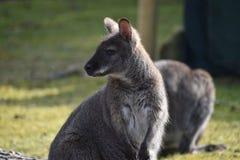 Nahaufnahme eines netten braunen Kängurus, der auf einer grünen Wiese sitzt Stockbild