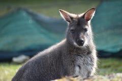 Nahaufnahme eines netten braunen Kängurus, der auf einer grünen Wiese sitzt Lizenzfreies Stockbild
